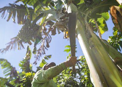 Colheita de banana