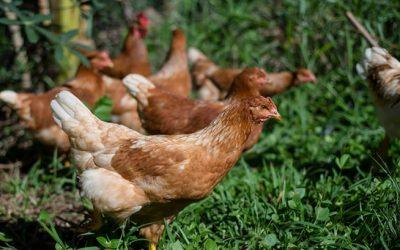 O que acontece quando você compra ovos orgânicos?