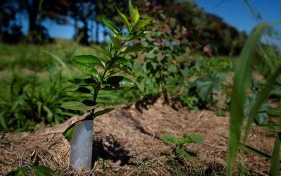 A arte de escalar um Sistema Agroflorestal (SAF)