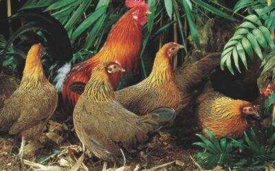 Conheça o Red Jungle Fowl, espécie que deu origem às galinhas que conhecemos hoje